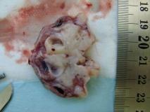 Акантоматозная амелобластома у собаки породы кокер-спаниель. Внешний вид. Рис. 2