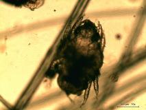 04 - Арахноэнтомозы у собаки породы японский хин. Нативный препарат.
