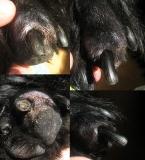 01 - Плоскоклеточный ороговевающий рак фаланги пальца у собаки породы ризеншнауцер. Внешний вид повреждённого пальца.