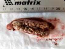 Множественные кисты на месте шовного материала в области затылочной кости у собаки породы кокер-спаниель. Новообразование в разрезе. Рис. 2