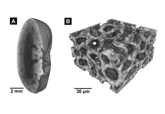 Гистологическое 3D-изображение почки мыши.
